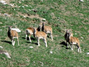mouflon01 (640x480)